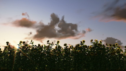 Sunflowers at sunrise, time lapse clouds