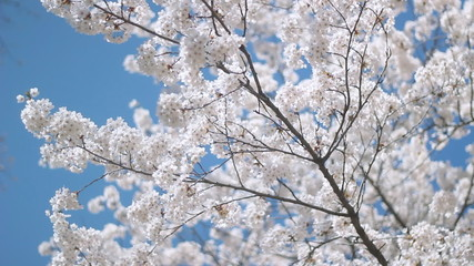 Blossom on a Japanese cherry tree. Shallow DOF.