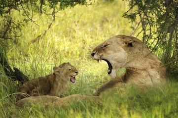 leonessa con denti pericolosi e cucciolo