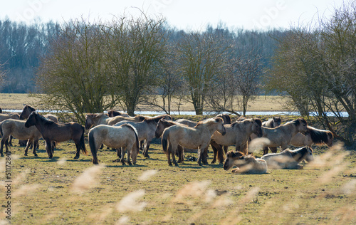 Konik horses in nature in spring
