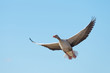 Goose flying in a blue sky in spring