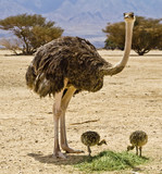 Female of African ostrich with young chicks