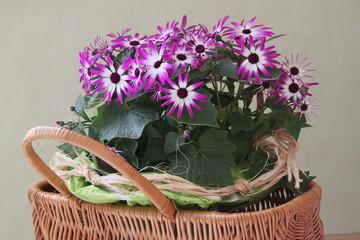 Topfpflanze mit vielen Blüten im Korb als Geschenk