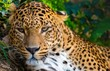 Close-up shot of a gorgeous leopardess