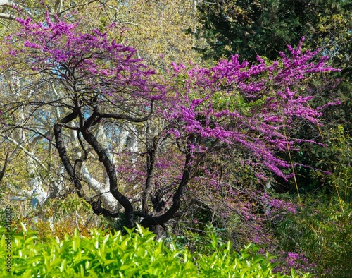 Tree with beautiful purple flowers