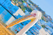 Greece,Petros the famous pelican of Mykonos island