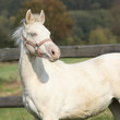 Interesting albino horse with pink halter
