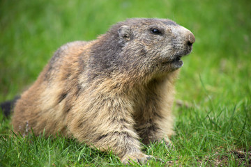 Marmot on the green grass in Alps