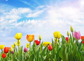 Frühlingserwachen: Bunte Tulpenvielfalt und blauer Himmel