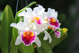 Fototapety White cattleya orchid flower
