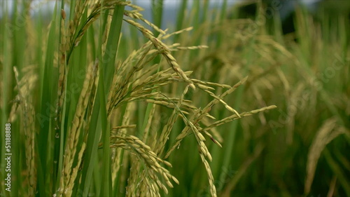 Lush green paddy rice grains yellow
