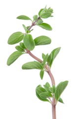 Marjoram Herb on White Background