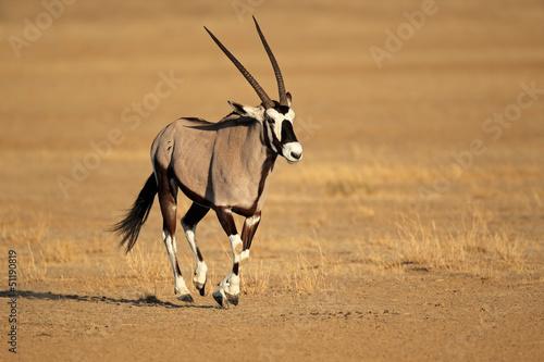 Fotobehang Antilope Running gemsbok antelope, Kalahari desert