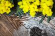 fiori di mimosa su tavola in legno