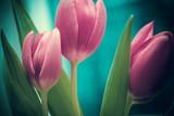 Różowe tulipany - 51192879