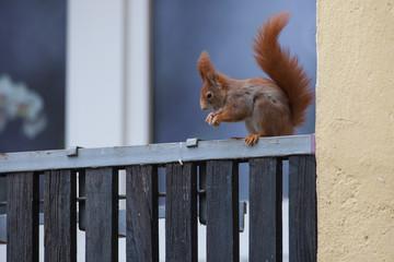Eichhörnchen in der Stadt