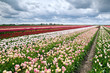 Dutch fields with many colorful tulips