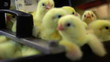 Newborn chicks on the conveyor