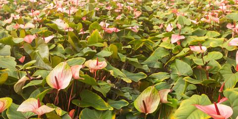 Closeup of Flamingo Flower plants in a Dutch flower nursery