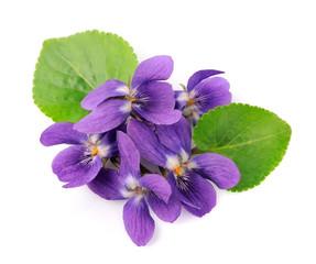 violets flowers