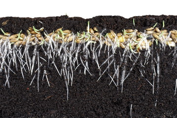 germinating cereal