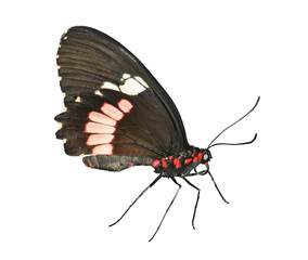 Cattlehearth Butterfly