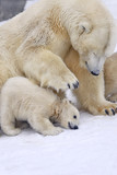 Cub of polar bear under mother protection