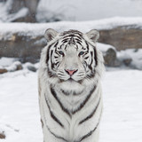 A white bengal cat among snowflakes