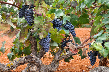 Grapes in a vineyard, Ibiza (Spain)