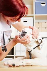 Hund wird beim Tierarzt am Maul untersucht