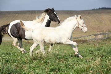 Albino and paint horse running