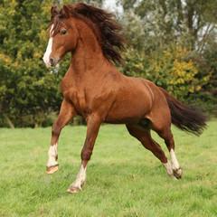 Nice chestnut welsh pony stallion jumping