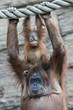 Hands up of an orangutan family