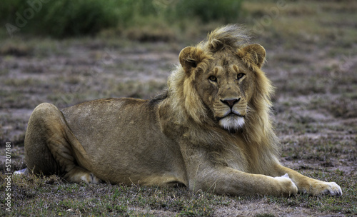 Lion lying looking at the camera