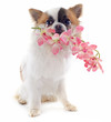 puppy chihuahua and flower