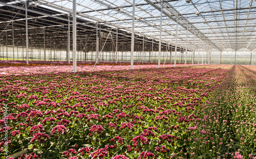 Colorful Chrysanthemums in a flower nursery