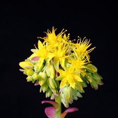 Fiori di Sedum Palmeri - Sedum Palmeri Flowers
