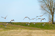 Geese flying over nature in spring