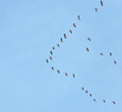 Geese flying in a blue sky in spring
