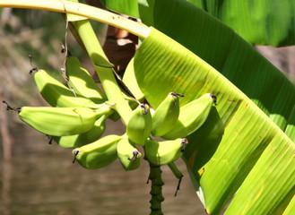 Unripe Bananas and Green Banana Leaf
