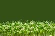 Kresse vor grünem Hintergrund