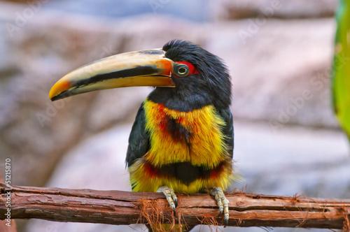 Canvas Toekan Pale-mandibled Aracari