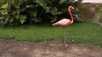 Sleeping flamingo. Two shots.