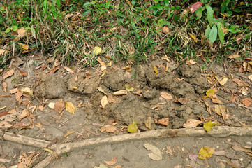 Elephant dung in forest at Phu Kradueng National Park, Loei, Tha