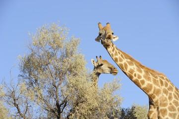 Southern Giraffe (Giraffa camelopardalis)