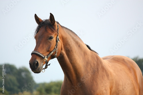 Beautiful bay horse portrait in summer