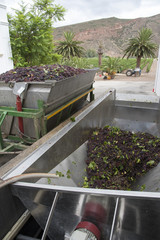 Grapes at harvest time in a hopper