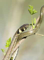 Grass snake in forest background / Natrix natrix