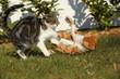 2 Tigerkatzen im Streit