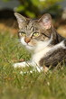 Tigerkatzenblick im Gras